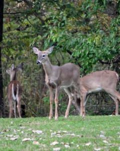 1404953_whitetail_deer