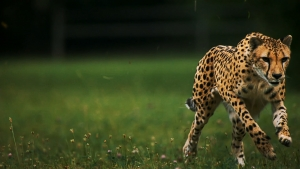 1423024_cheetah